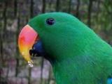 Благородный попугай избран: описание, условия содержания