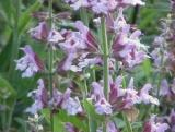 Цветки шалфея: полезные свойства, применение в Народной медицине