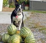Можете ли вы дать арбуз собака? Какие фрукты и ягоды можно собакам