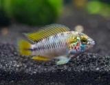 Аквариумные рыбки карликовые окуни красочно: виды, описание, содержание и совместимость